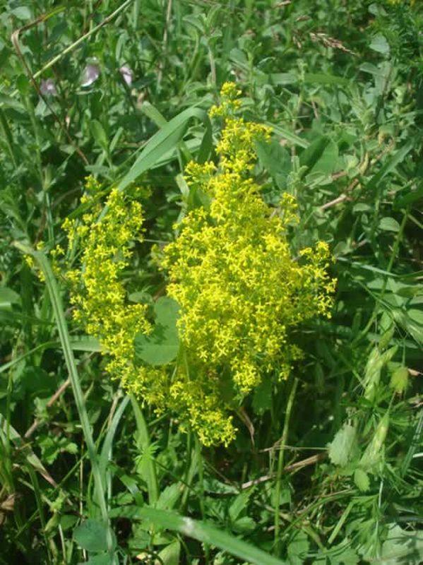 Galium amarillo/Galium verum