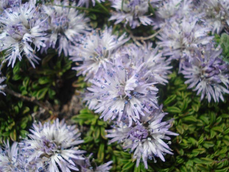 Globularia repens/Globularia repens