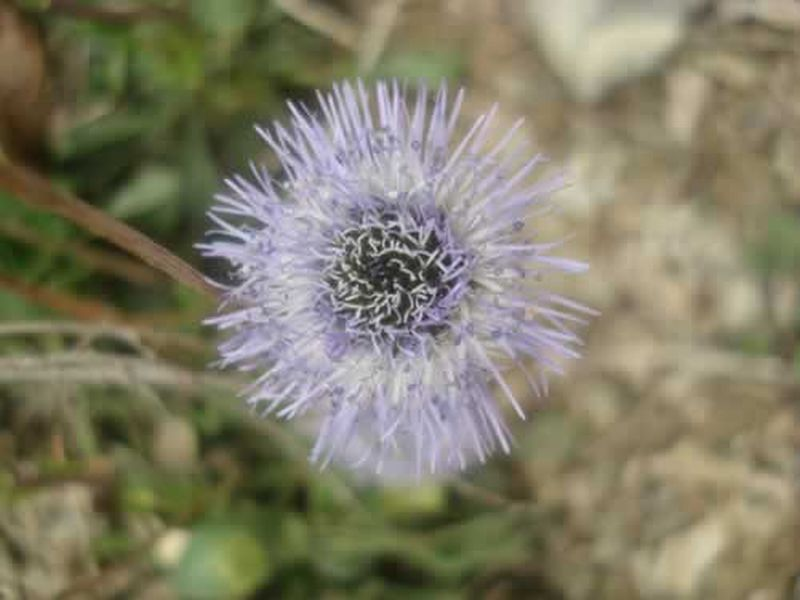 Globularia/Globularia vulgaris