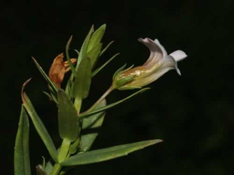 Gratiola officinalis/Gratiola officinalis