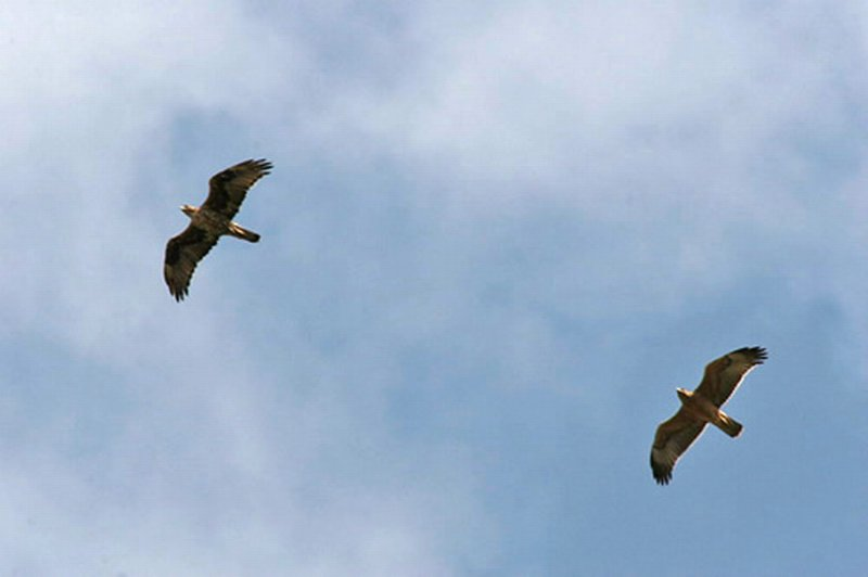 Aguila-azor Perdicera/Hieraaetus fasciatus