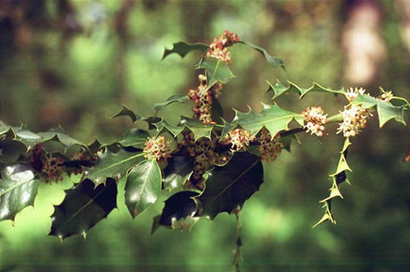 Acebo/Ilex aquifolium