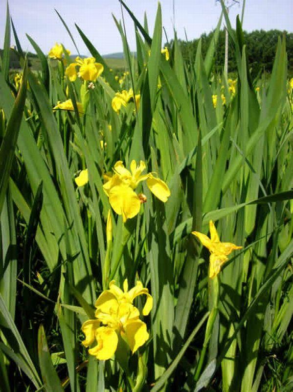 Lirio amarillo/Iris pseudacorus