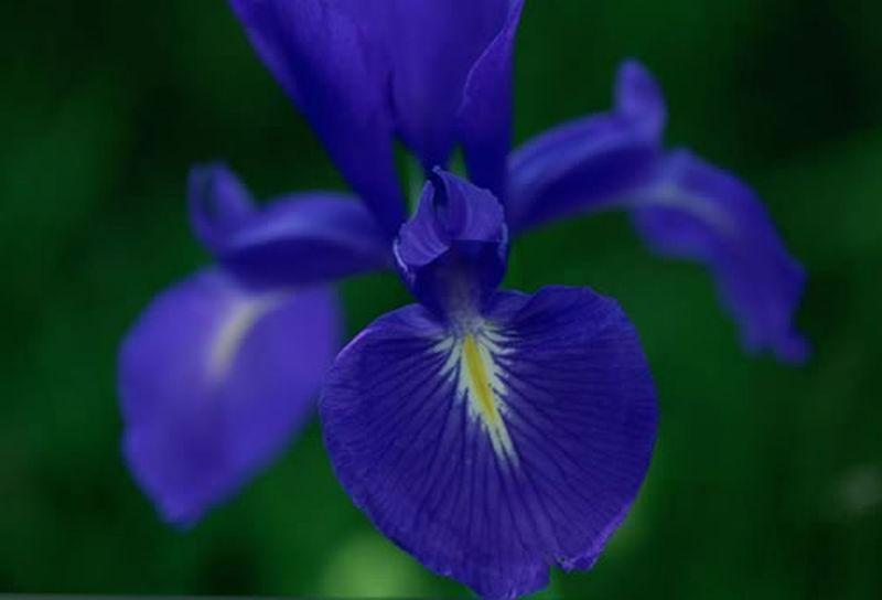 Lirio pirenaico/Iris latifolia
