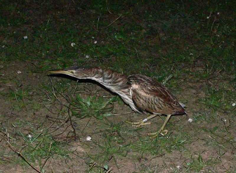 Avetorillo Común/Ixobrychus minutus