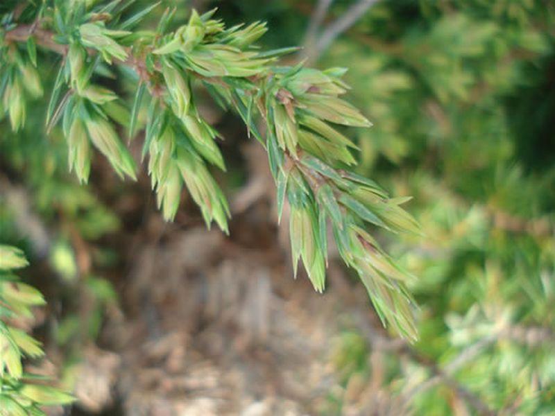 Enebro común/Juniperus communis