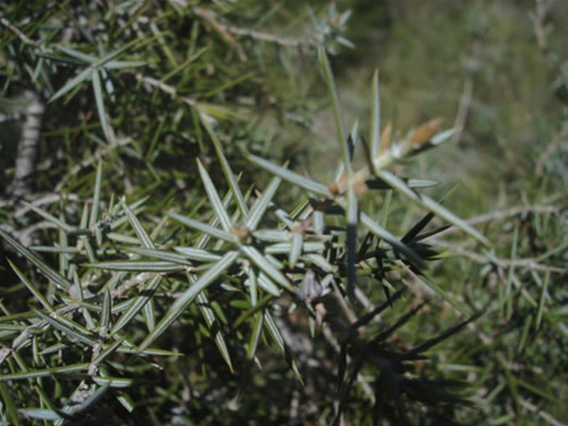 Enebro de miera/Juniperus oxycedrus