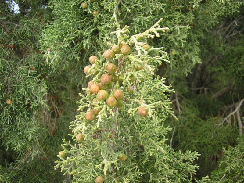 Sabina roma/Juniperus phoenicea