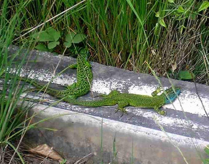 Lagarto verde/Lacerta viridis