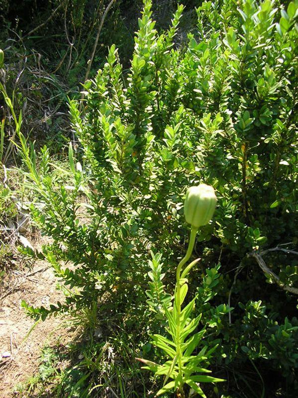 Flor de Lis/Lilium pyrenaicum