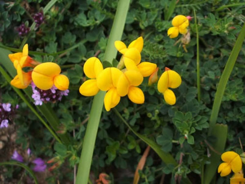 Cuernecillo/Lotus corniculatus