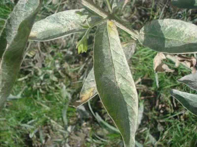Lisimaquia/Lysimachia vulgaris