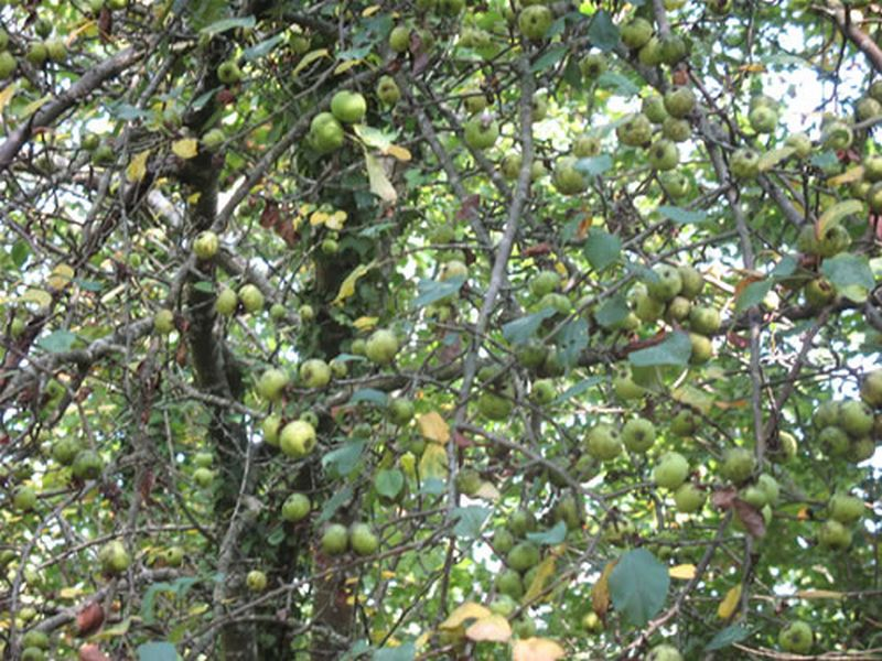 Manzano silvestre/Malus sylvestris