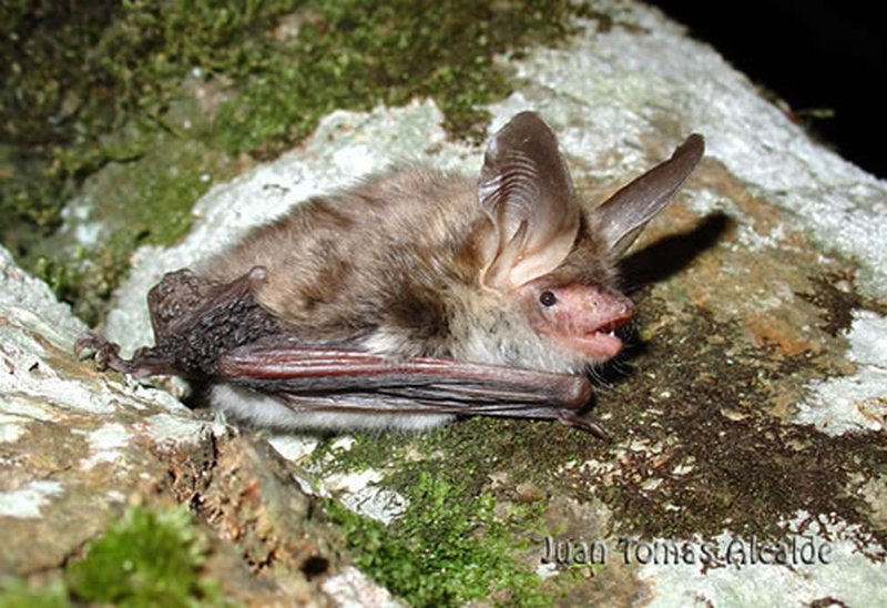 Murciélago ratonero forestal/Myotis bechsteinii
