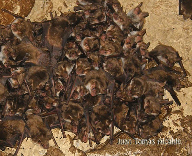 Murciélago ratonero mediano/Myotis blythii