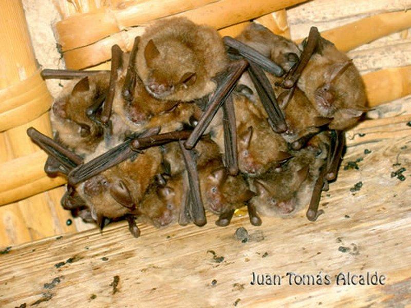 Murciélago ratonero pardo/Myotis emarginata
