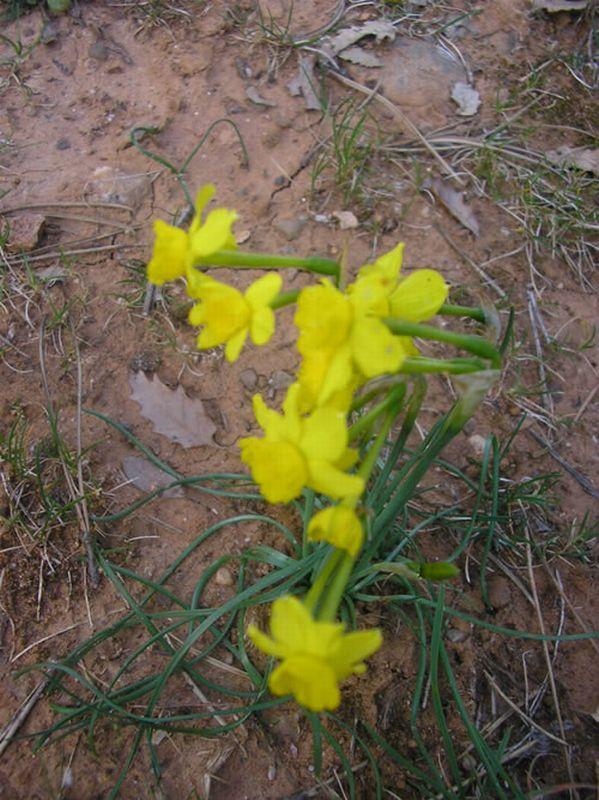 Narciso junquillo/Narcissus assoanus