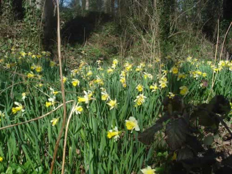 Narciso/Narcissus pallidiflorus