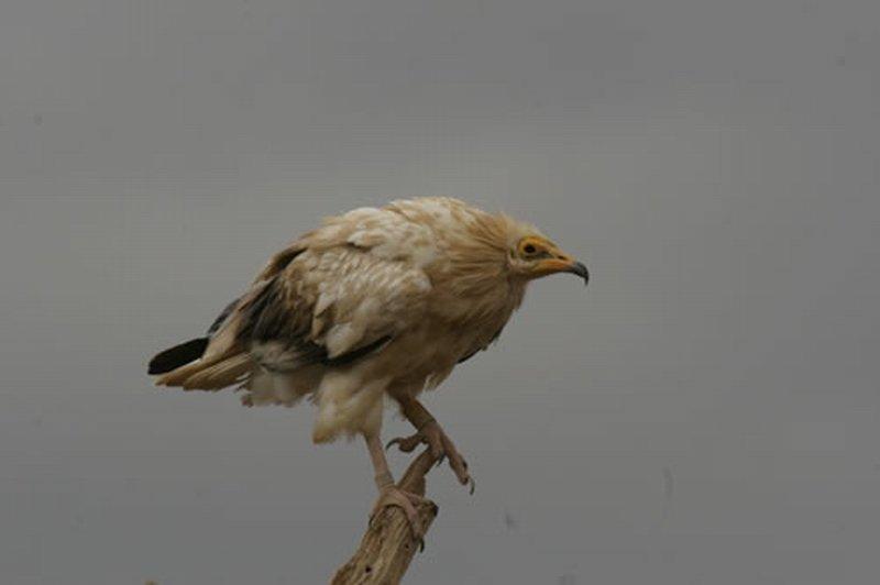 Alimoche Común/Neophron percnopterus
