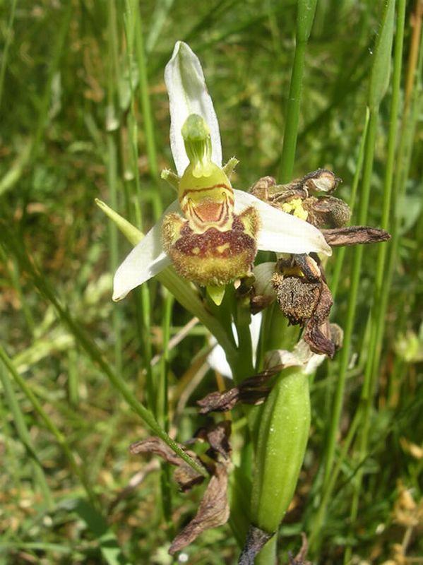 Flor de abeja/Ophrys apifera