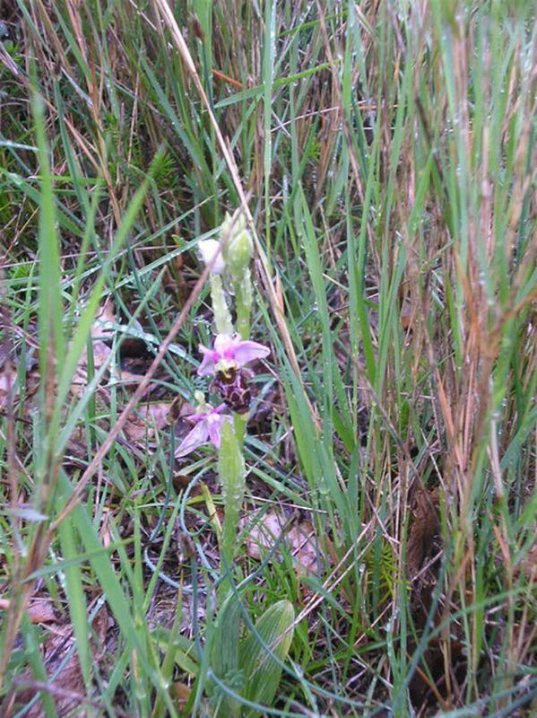 Ophrys scolopax/Ophrys scolopax