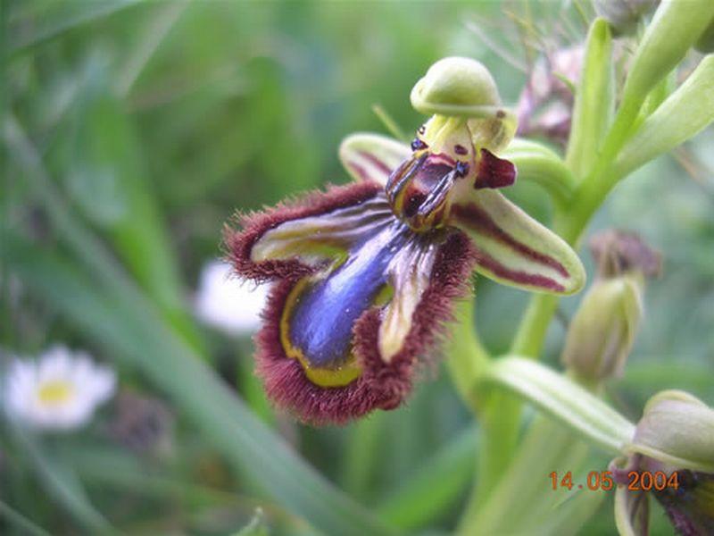 Espejo de Venus/Ophrys ciliata