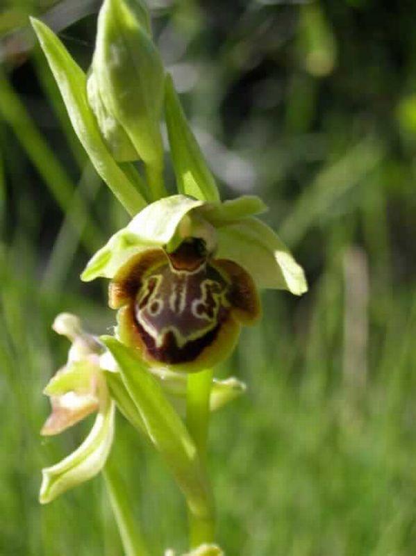 Ophrys riojana