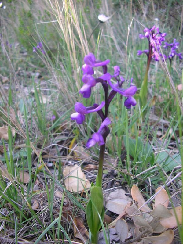 Orchis champagneuxii/Orchis morio