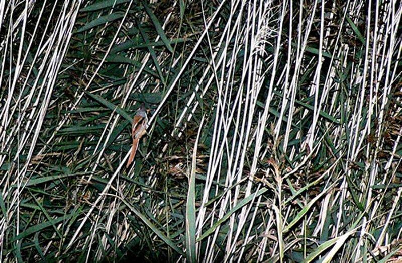 Bigotudo/Panurus biarmicus