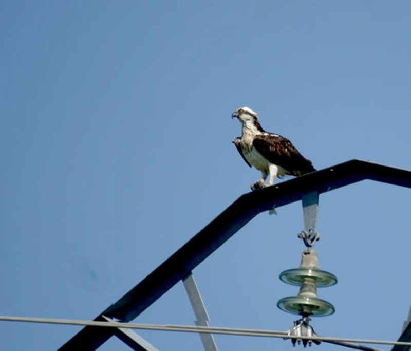 Aguila Pescadora/Pandion haliaetus