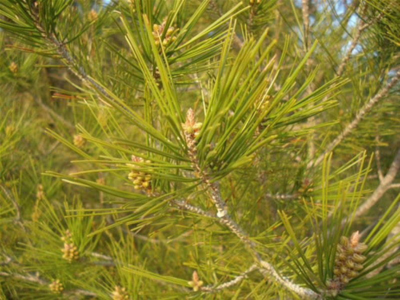 Pino carrasco/Pinus halepensis