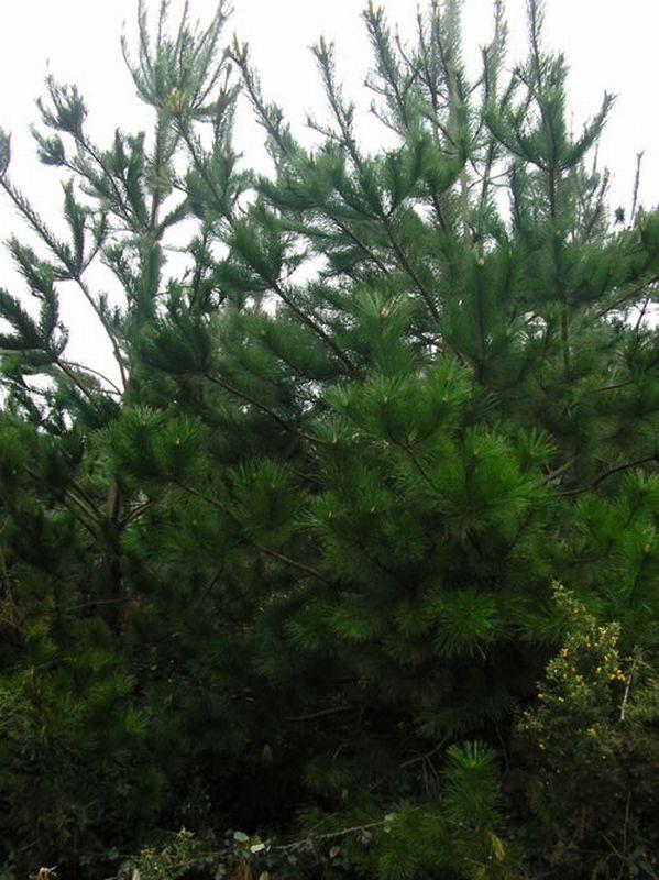Pino de Monterrey/Pinus radiata