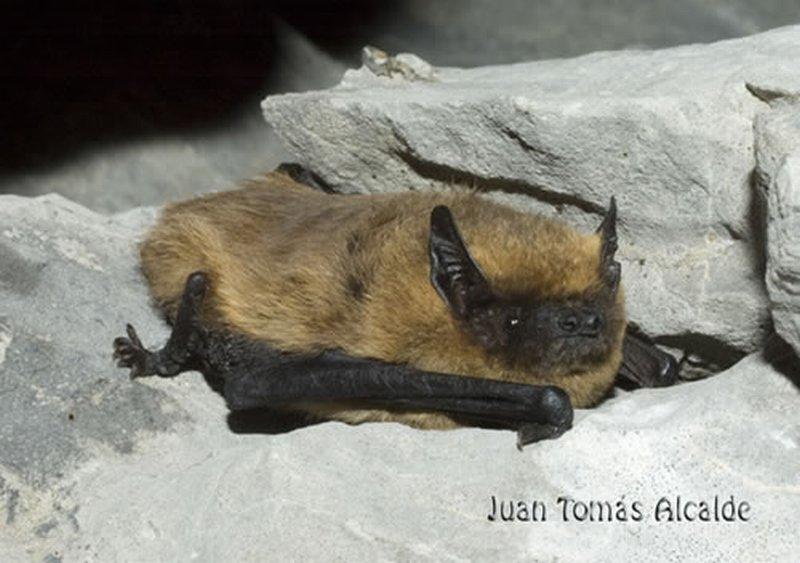 Murciélago enano/Pipistrellus pipistrellus