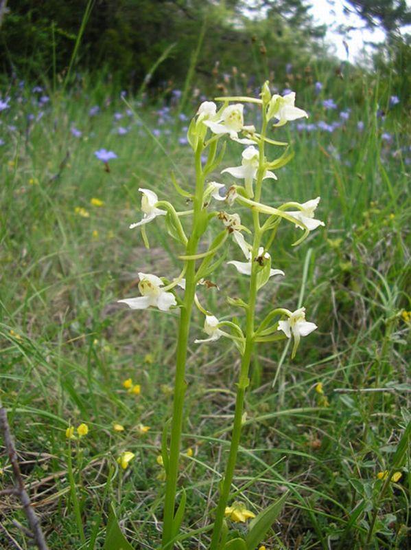 Platanthera chlorantha/Platanthera chlorantha