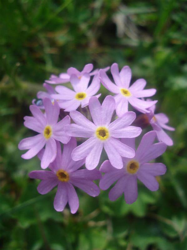 Primavera, farinosa/Primula farinosa