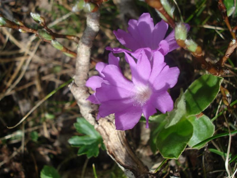 Primula integrifolia/Primula integrifolia
