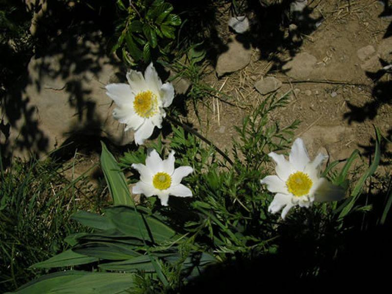 Anémone, Flor de viento/Pulsatilla alpina