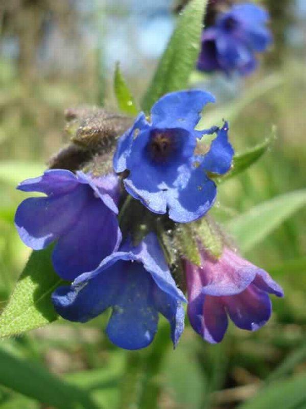 Pulmonaria/Pulmonaria longifolia