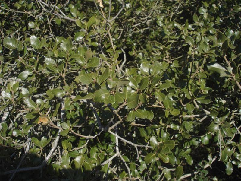 Coscoja/Quercus coccifera
