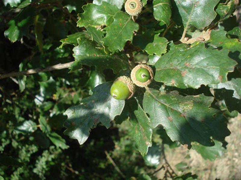 Quejigo/Quercus faginea