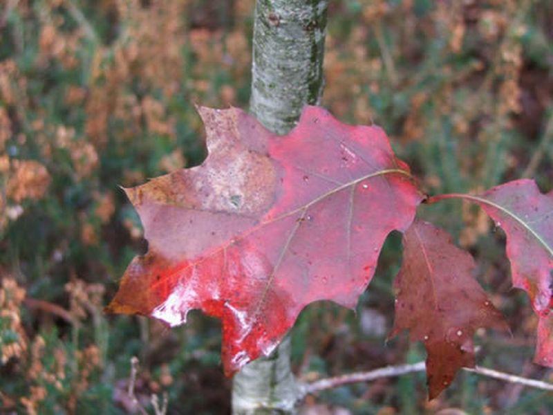 Roble americano/Quercus rubra