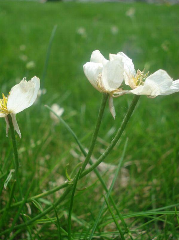 Ranunculus pyrenaeus/Ranunculus pyrenaeus
