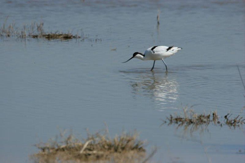 Avoceta Com�n/Recurvirostra avosetta
