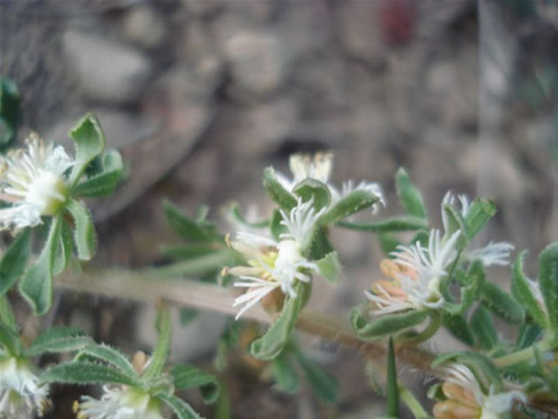 Reseda phyteuma/Reseda phyteuma
