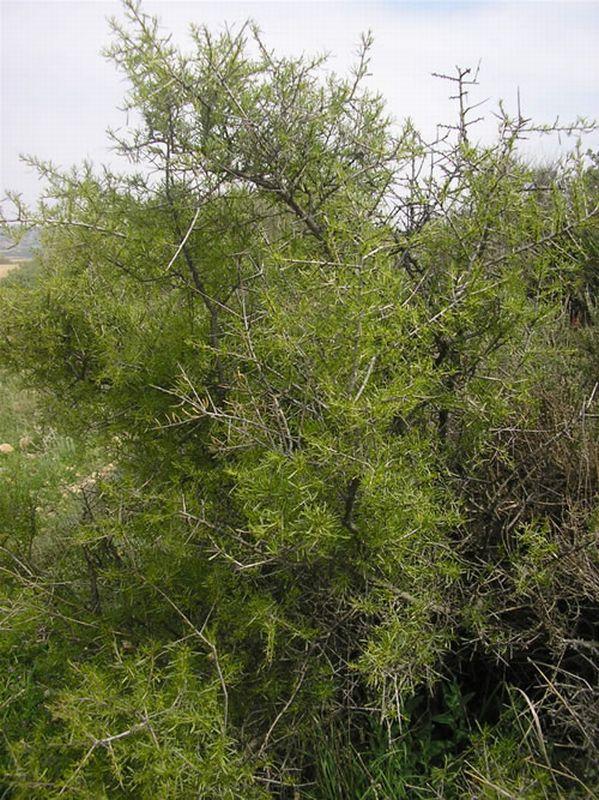 Espino negro/Rhamnus lycioides