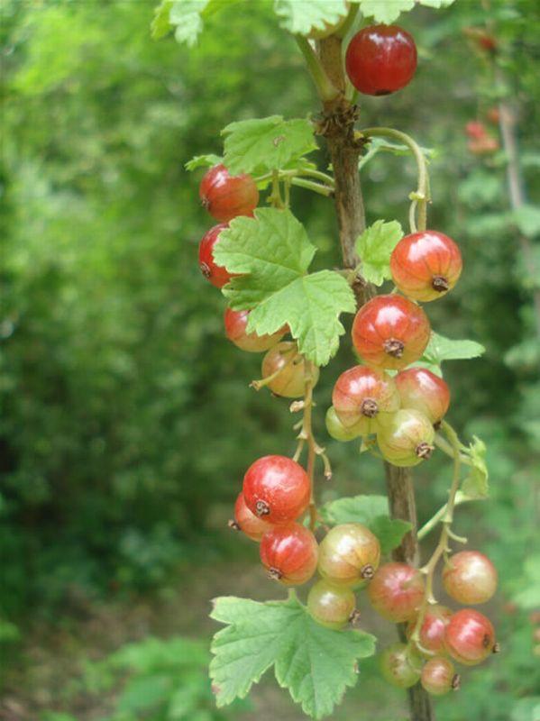 Grosellero/Ribes petraeum