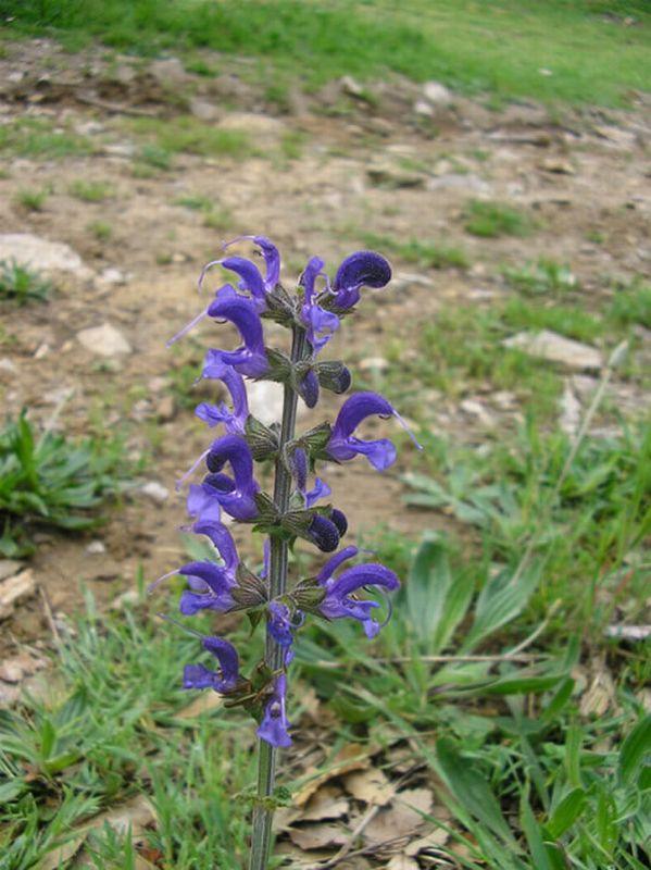Salvia de los prados/Salvia pratensis