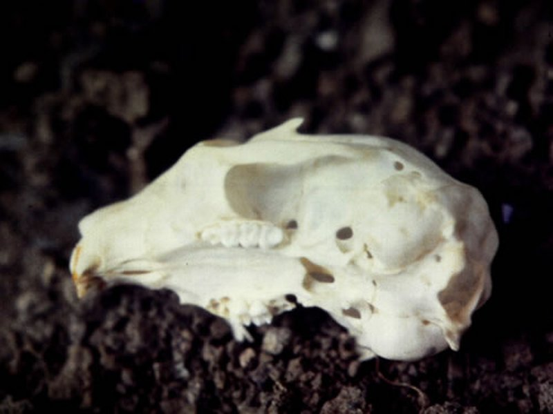 Ardilla roja/Sciurus vulgaris