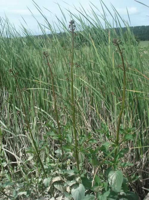 Escrofularia/Scrophularia auriculata