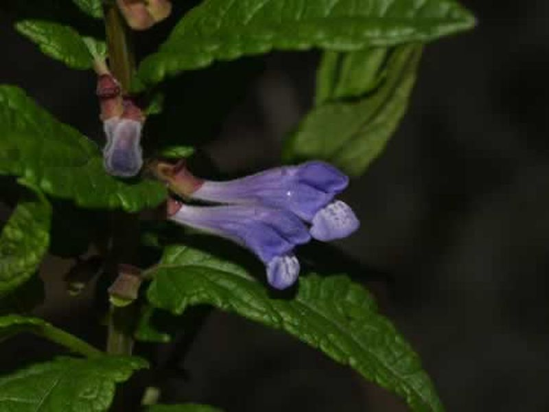 Hierba de la celada/Scutellaria galericulata